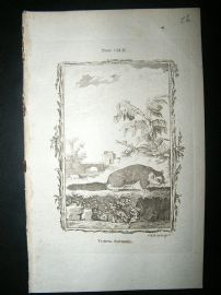 Buffon: 1785 Flying Squirrel, Antique Print
